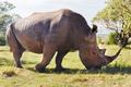rhino grazing in savannah at africa