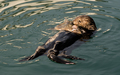 Sea Otter Feeding Fish Marine Harbor Wildlife