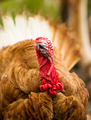 Domestic Farm Turkey Stands Close Game Bird Portrait