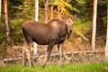Newborn Moose Calf Feeding On Grass Alaska Wilderness