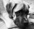 English Mastiff Mix Puppy Lays on Floor Looking Up
