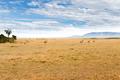 eland antelopes grazing in savannah at africa