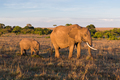 elephant with baby or calf in savannah at africa