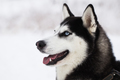 Beautiful Siberian Husky dog in winter forest