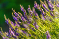 Blossoming lavender field