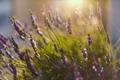 Lavender field in sunlight