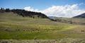 Buffalo Herd Lamar Valley Yellowstone National Park Bison