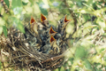Baby birds in the nature