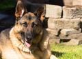 Purebred German Shepherd Dog Canine Pet Laying Down