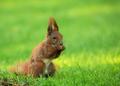 Squirrel (Sciurus vulgaris) eating seeds