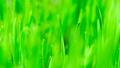 Microgreens Growing Panoramic Dew on Wheatgrass Blades