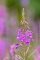 Flower of Fireweed