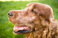 Purebred Irish Setter Dog Canine Pet Sitting