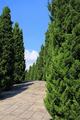 Pines in royal flora garden, Thailand