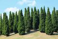 Pines in royal flora garden