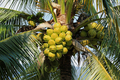 Coconut cluster on coconut tree