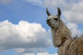 Lama, a portrait