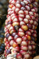 Red Corn Macro - PhotoDune Item for Sale