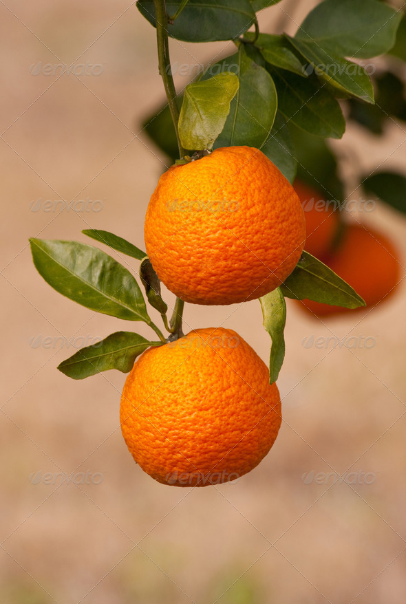 Oranges On The Tree - Stock Photo - Images