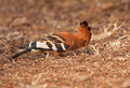 Hoopoe Bird - PhotoDune Item for Sale