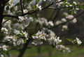 Apple Blossoms - PhotoDune Item for Sale