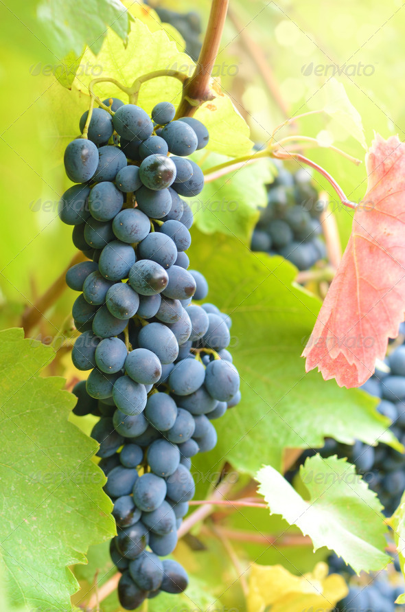 Blue grapes - Stock Photo - Images