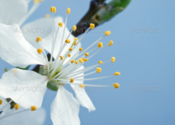 branch of cherry blossoms against the blue sky - Stock Photo - Images
