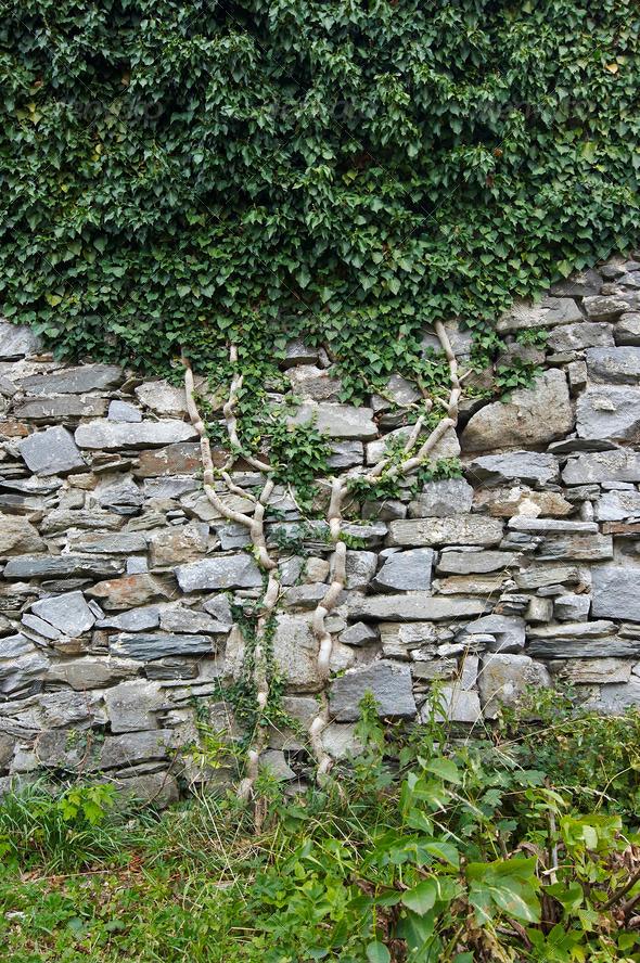 PhotoDune ivy on the wall 4082604