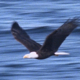 Bald Eagle Flying Sequence