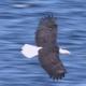 Bald Eagle Flight Close Up