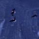 Four Bald Eagles Flying