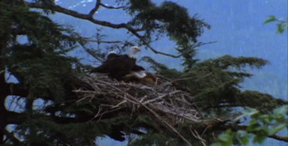 Bald Eagle Flies From Nest 2