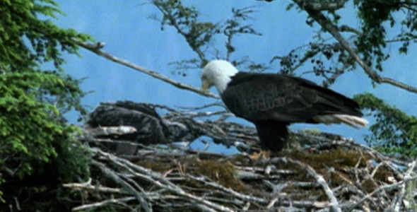 Bald Eagle and Chick on Nest