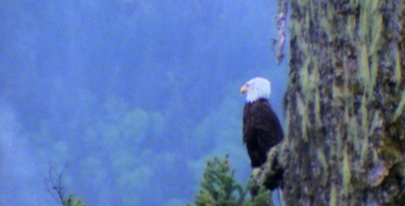 Bald Eagle in Ancient Tree Sequence