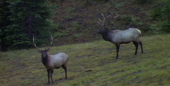 Bull Elk in Open Forest Sequence