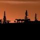 Horses Silhouette at Sunset - VideoHive Item for Sale