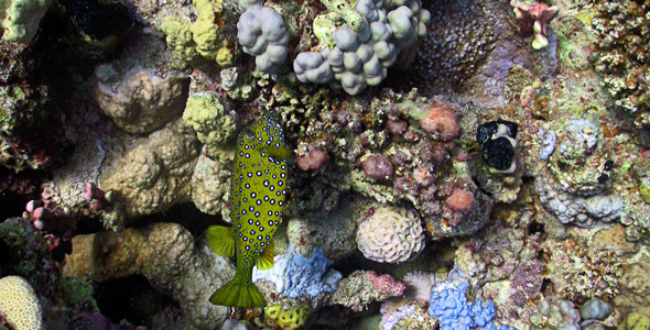 Bluetail Trunkfish Feeds On The Coral Reef
