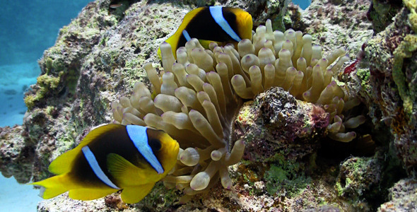 VideoHive Clown Anemonefish In Coral Reef 2109615