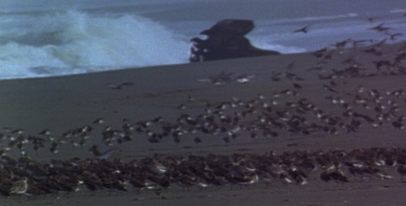 Shorebirds Landing On Remote Beach Sequence