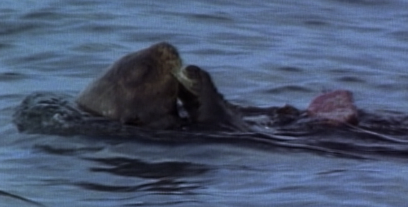 Otter Cracks Shell and Dives Sequence