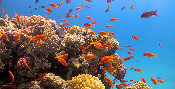Red Fish On Coral Reef