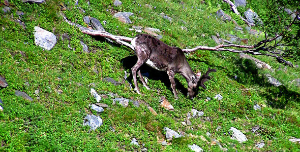 Reindeer Graze On The Mountains