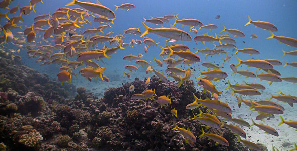Shoal Of Yellow Fish On The Coral Reef