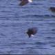 Flock of Bald Eagles Feeding: Single