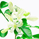 Murraya (Orange Jasmine) Flowers Blossom, Time Lapse - VideoHive Item for Sale