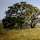 Sycamore Tree Green Pasture - VideoHive Item for Sale