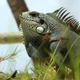 Iguana - VideoHive Item for Sale