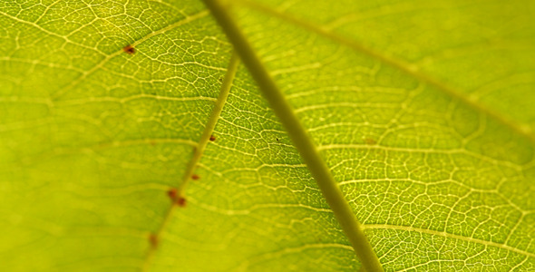 Green Leaf II