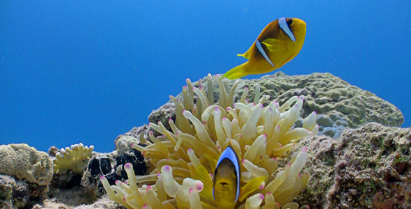 Clown Anemonefish In Coral Reef