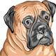 Vector Closeup Portrait of the Dog Breed Bullmasti - GraphicRiver Item for Sale